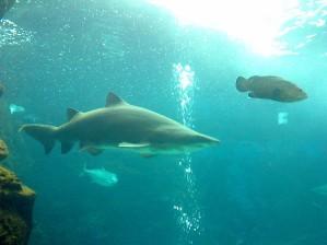 Taurus shark